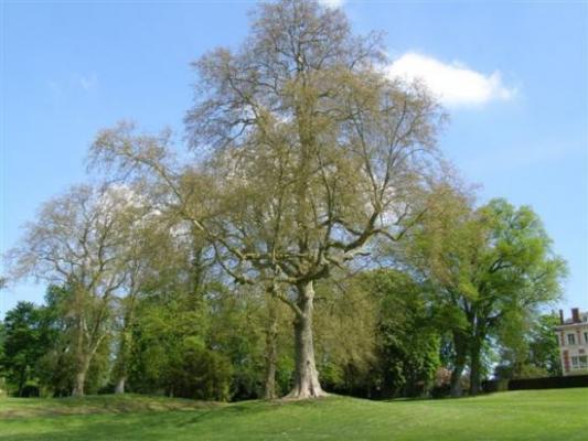 Pringy parc de la mairie arbre remarquable