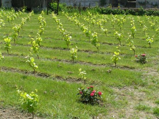 Flagy : la vigne