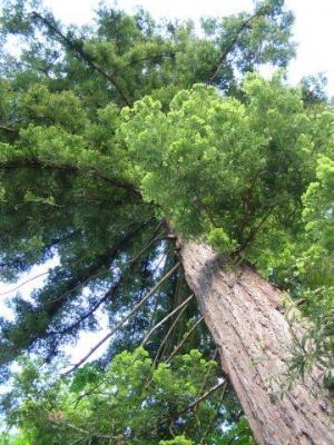 sequoia toujours vert